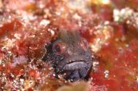 穴の中から顔を出している魚・トウシマコケギンポ、指を出すと口を開くよ〜ぉ〜、やってみて!