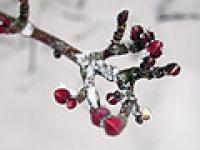 自然を観察!寒さに耐えひっそりと春を待っている木の冬芽