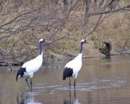 タンチョウが挨拶に来ることもしばしば・・・。野趣あふれる釧路川をお愉しみください。