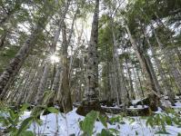 寒さに耐えながら育つ知床の原生林