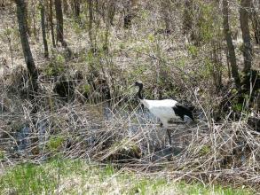 エサを探す春のタンチョウ