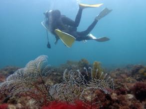 ゆらゆら揺れるソフトコーラル珊瑚