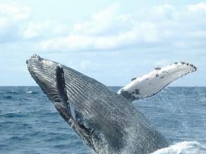 【クジラ大好きな船長がご案内!個体識別も魅力!】半日ホエールウォッチング