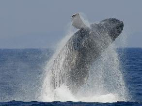 【クジラを愛する船長と鯨三昧!】ホエールウォッチング1DAY