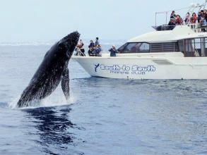 【那覇発・空港から好アクセス!遭遇率99.9%!ダイナミックなクジラを見に行こう!】沖縄・ホエールウォッチング