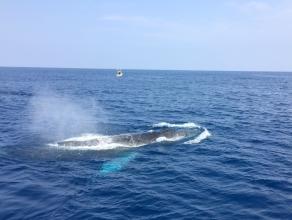 《那覇から日帰りOK!クジラも心を許す船長の船に乗ってホエールウォッチングを体験しよう!》 ホエールウォッチング1回