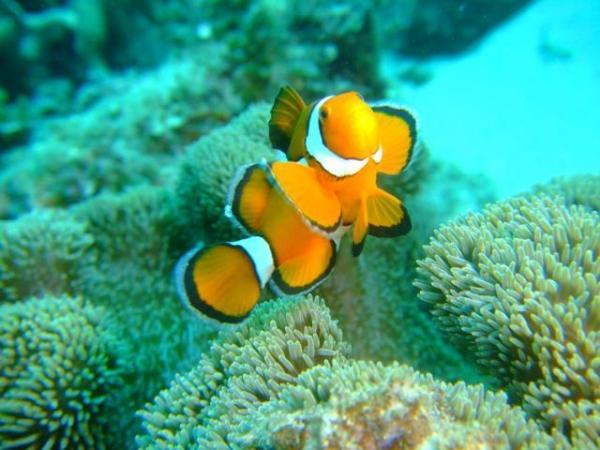 クマノミ・スズメダイ・珊瑚など、慶良間の海が楽しめます。運がよければ海ガメにあえることも・・・。