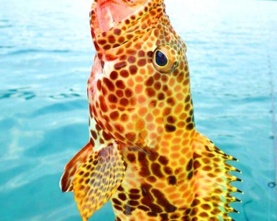 カヤックフィッシングを行うポイントには、様々なお魚がいます。写真のお魚は、イシミーバイ(カンモンハタ)。