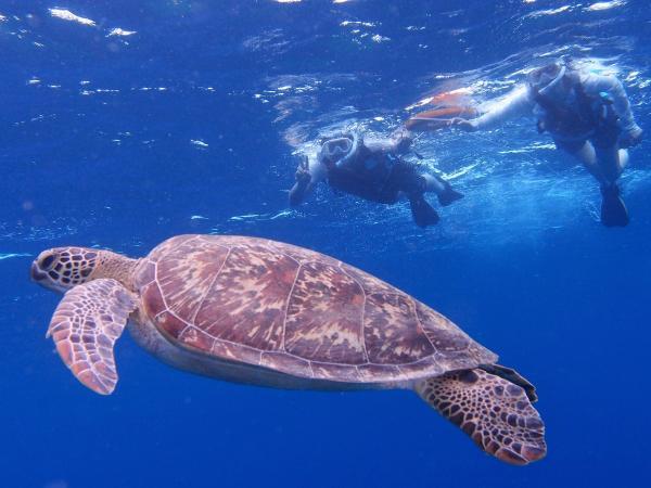 日本最大級の琉球菊花サンゴ「通称バラサンゴ」は一見の価値ありです!また、アウトリーフ周辺がウミガメの生息地でもあるため、かなりの高確率で出会えますよ!