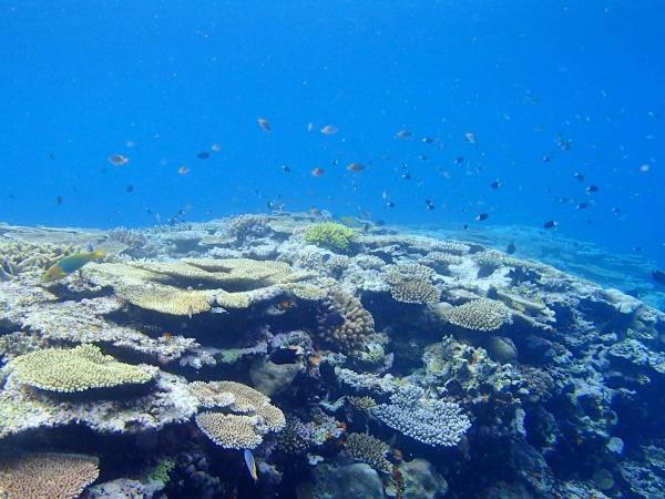 広大なサンゴが広がる西表島
