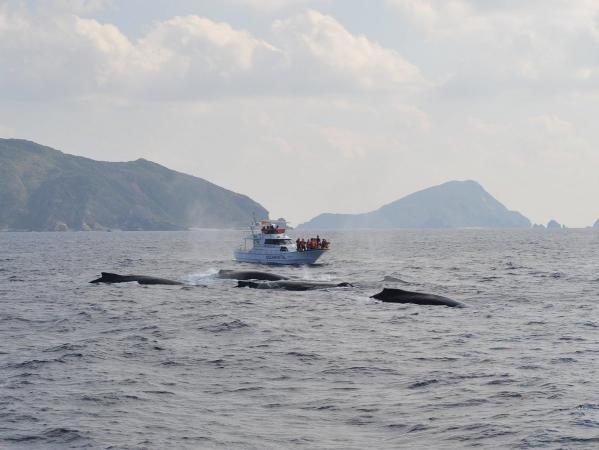 この時期、座間味で過ごすクジラたち