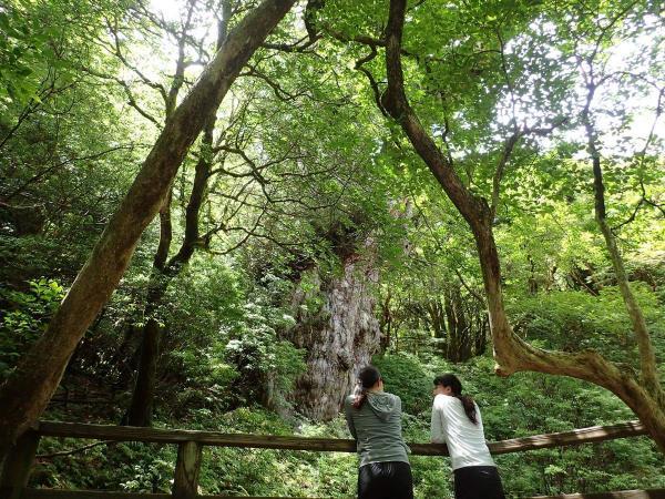 鎮座する縄文杉、悠久の歴史を肌で感じよう。