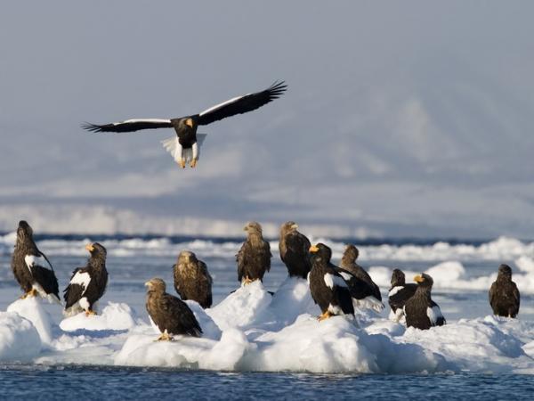 世界的な希少種であるオジロワシやオオワシが、越冬のために羅臼を中心とした知床列島へとやってきます。