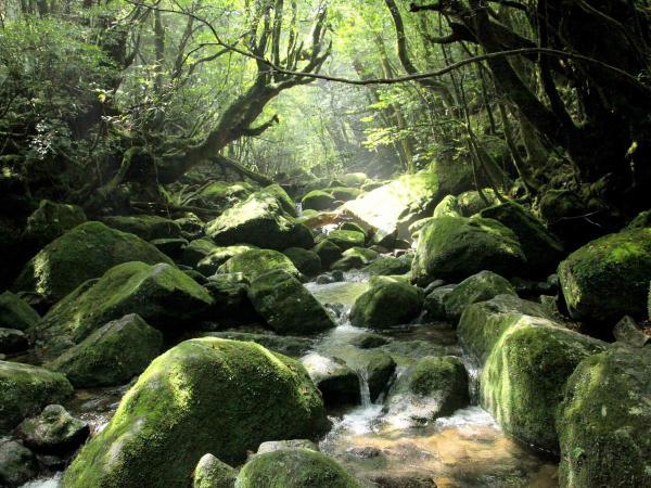 苔のじゅうたんが広がります。これぞ屋久島!
