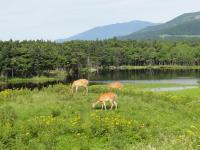 知床は野生動物の宝庫。草原では仔ジカや大きな角が生えたオスジカに出会うこともあります