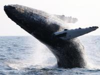 大迫力のパフォーマンスに感動!野生のザトウクジラに会いに行こう!