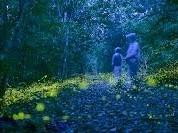 3月にはヤエヤマホタルが幻想的に舞い飛びます