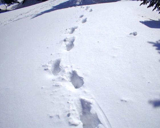 カモシカの足跡