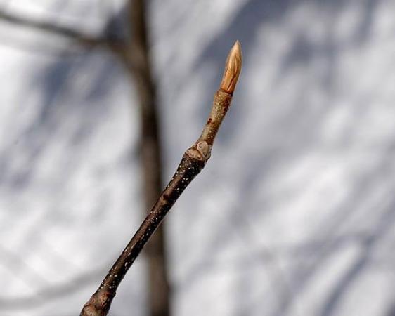 ふと立ち止まるときれいな冬芽。時には自然観察も良いものです。