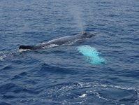 ブローを目印にクジラを探そう