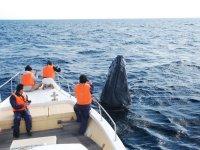 小型で小回りのきく船はクジラの行動にあわせて近づきやすい!こんなに近くでクジラを見れることもありますよ!