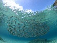 群れで悠々泳ぐ魚たち