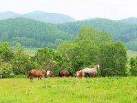 広大な牧場でのびのびと生活していて、おとなしい馬