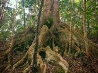 板根が見もの!樹齢150年といわれるオキナワウラジロガシに会いに行こう!