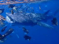 ジンベエザメに会えるシュノーケリングコースあり!