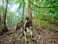 「板根」が美しい、樹齢150年の巨木「オキナワウラジロガシ」の木が待っています!