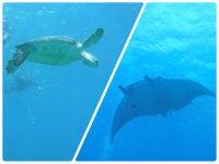 マンタやウミガメに会えるコースあり