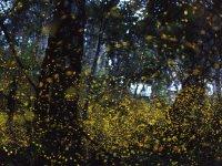 【3~6月限定】幻想的な光に包まれる!ヤエヤマボタル観察ツアー
