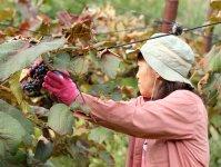 ぶどう狩りを体験したら、みんなでティータイム!山の果物の味覚をたっぷり味わいましょう!