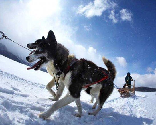 北海道(天狗平・白滝高原) 犬ぞり