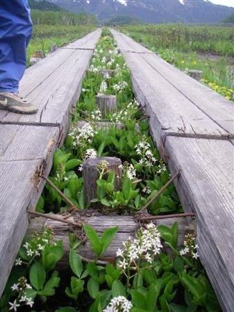 どこまでも続く木道を歩こう。その周りは季節の花に彩られています。(尾瀬)