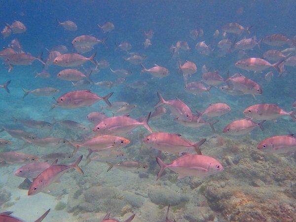 黒潮が流れる屋久島、お魚も豊富です。