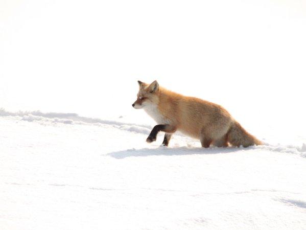 雪原の中で野生動物と出会えるかもしれません