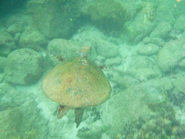 ウミガメと一緒に泳ぐことができるかも!