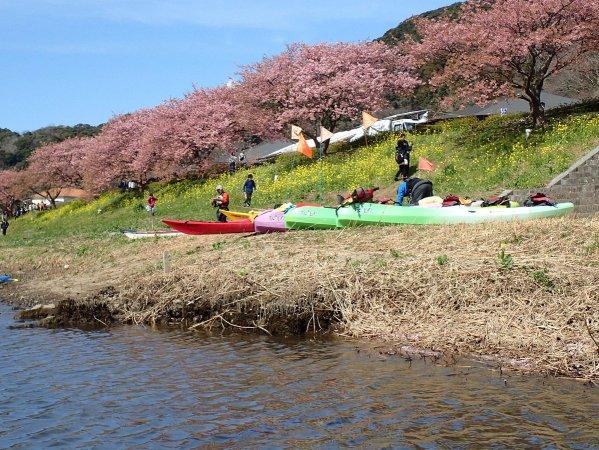 800本の河津桜