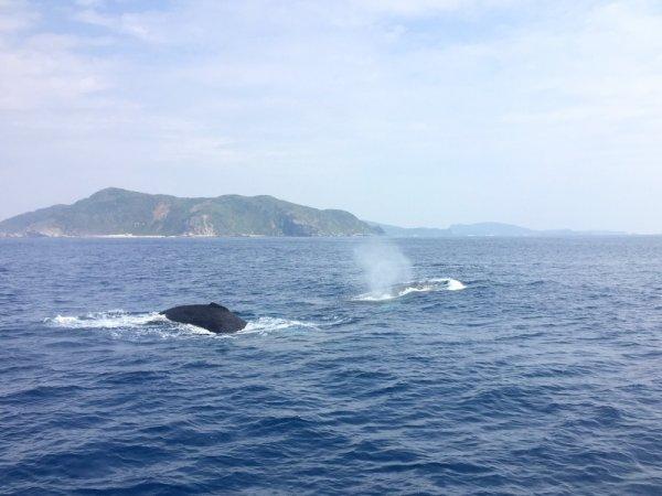 ベテラン船長の宮村がすべてのツアーに同行。クジラの行動を予測する操船によって、クジラ本来の姿を観察することができます!