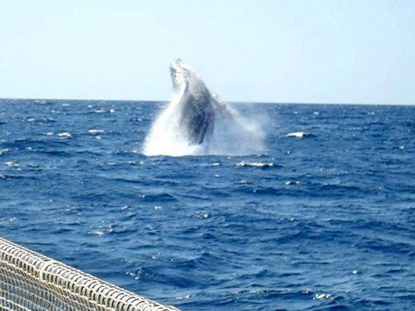 クジラアクションのなかでも大人気のブリーチング!このど迫力の大ジャンプをみられることも。