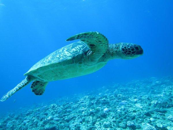 運が良ければウミガメとも泳げる!
