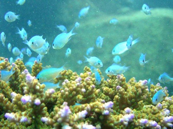 デバスズメダイなど海の中はお魚で彩豊か!