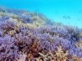 池間島を含む宮古諸島は、いずれもサンゴが隆起してできた島々です。島の周囲もサンゴが豊富!