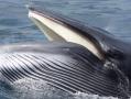 ミンククジラの捕食シーン。オキアミなどを食べます。