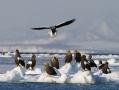 流氷の上で羽を休めるワシたち