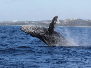 沖縄の海に冬にだけやってくるザトウクジラたち!ダイナミックなパフォーマンスは圧巻!