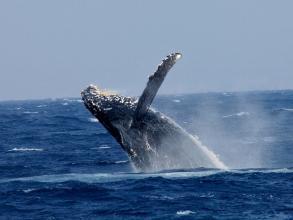 沖縄の冬の人気アクティビティ、那覇発着のホエールウォッチング!ザトウクジラを見に行こう!
